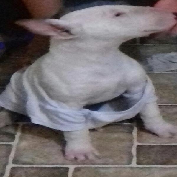 Bull Terrier 0