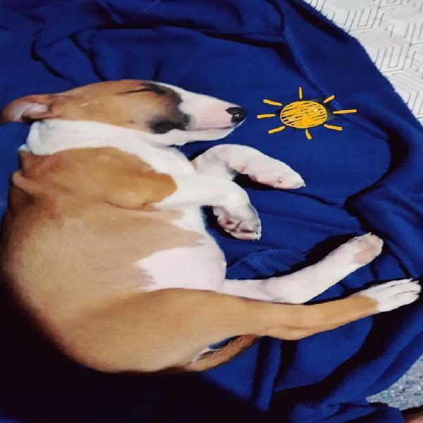Cachorrita Bull terrier de dos meses de nacida 0