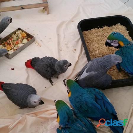 Cacatúas,guacamayos, grises africanos y huevos fértiles