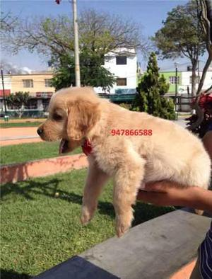 Golden retriever cachorro a1 hermoso gran ejemplar