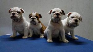 Cachorros bulldog ingles con pedigree 2 machos y 2 hembras
