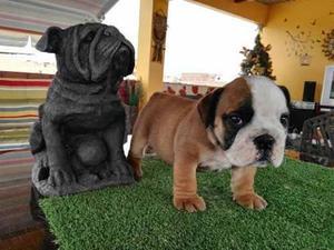 Cachorros bulldog inglés machos disponibles - sin pedigree