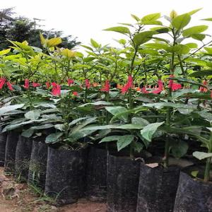 Plantas ornamentales forestales anuncios mayo clasf for Plantas forestales