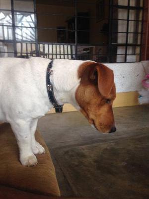 Jack russell terrier de buen linaje - servicio de monta