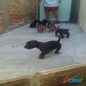 Hermosos cachorritos pitbull black nose
