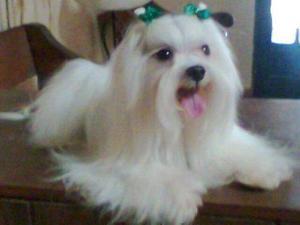 Cachorros bichon maltes full pedigre a1 mascota de casa