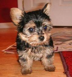 Vendo hermosos cachorro de raza yorkshire terrier toy