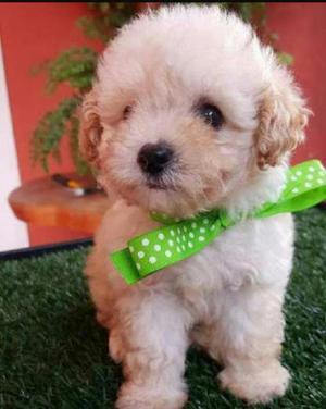 Poodle mini toy macho