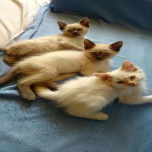 Gatitos cruce siames con persa himalaya