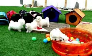 Cachorros bichon maltes bebes