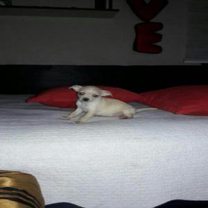 Chihuahua macho toy
