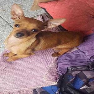 Chihuahua en arequipa clasf for Vendo chihuahua barcelona