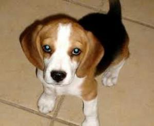 Beagles cachorritos machitos hembritas