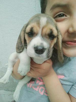Cachorrita beagle en venta