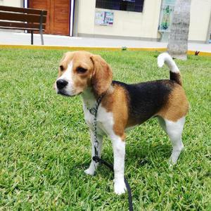 Cachorros beagle mestizos