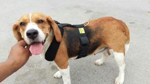 Pechera para beagle