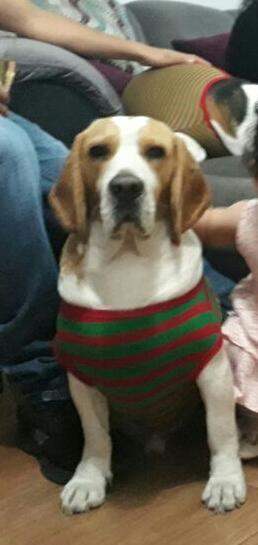 Servicio monta beagle busca novia