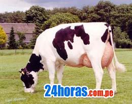 Baratisimo vendo vacas lecheras holstein de muy buena geneti