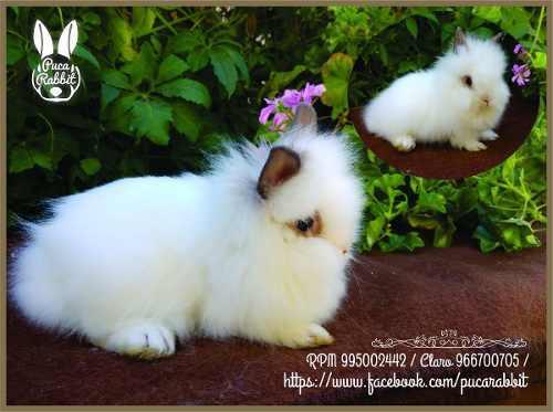 Conejos mascota cabeza de leon puca rabbit. fotos reales