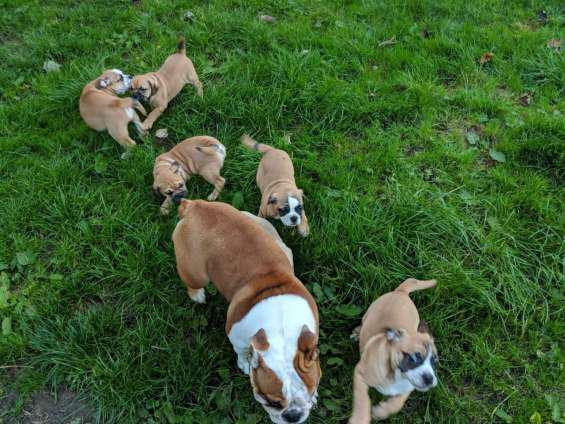 Adopta 5 cachorros de bulldog inglés gratis (gratis)! en la