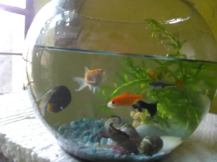 Pecera bola mediana con peces a colores
