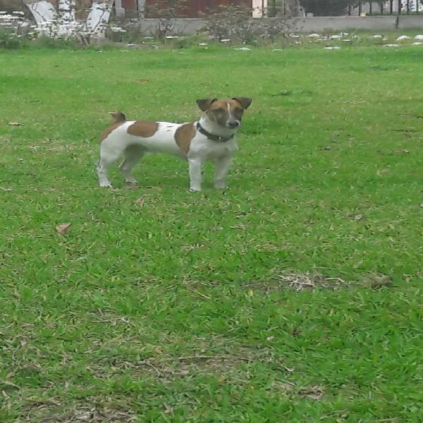 Monta jack russell