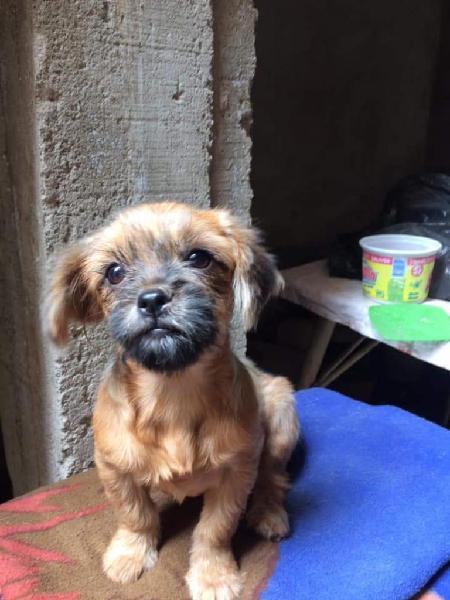 Preciosa cachorrita pequinés en adopción