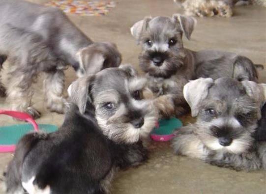 Cachorritos schnauzer miniatura