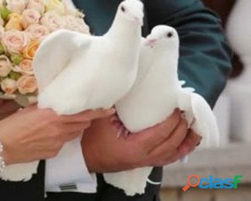 Alquiler de palomas blancas para eventos matrimonios y mas