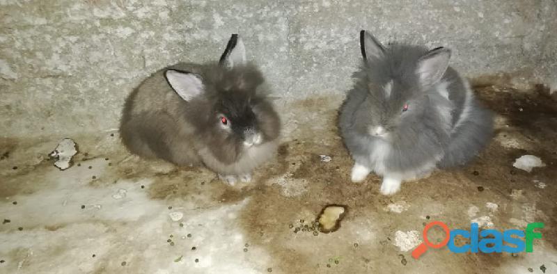 Conejos angora.