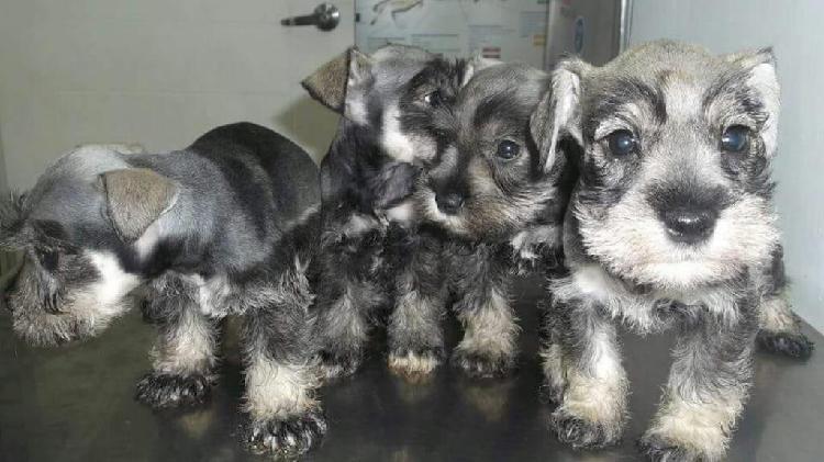 Cachorritos schnauzer