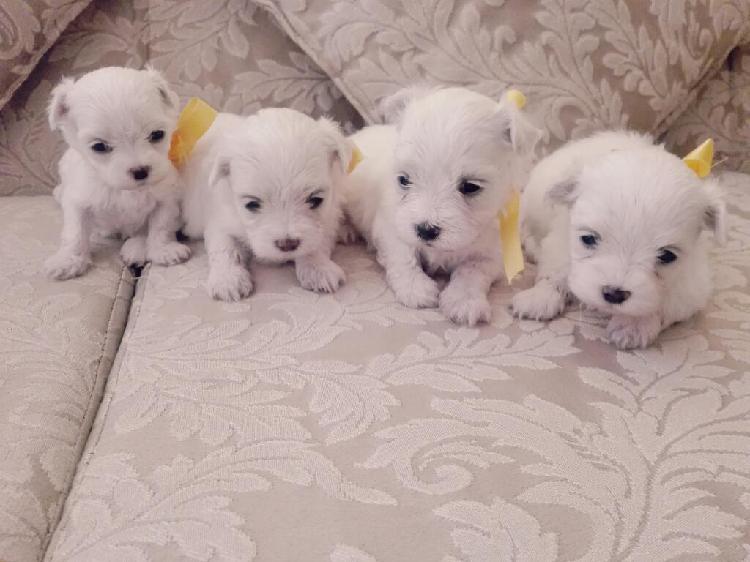 Se Venden Cachorros Bichon Maltés