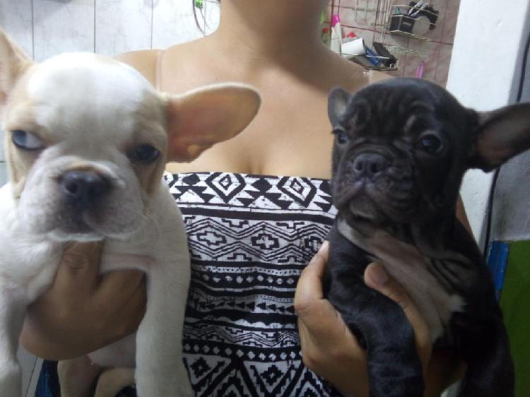 Bulldog frances cachorras