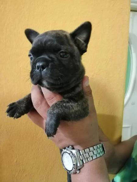 Bulldog francés machos