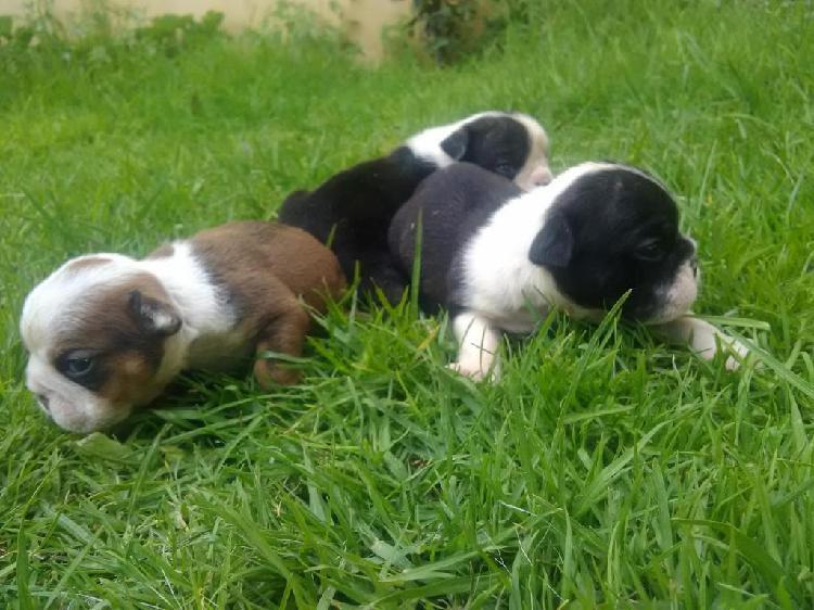 Cachorros bulldog ingles disponibles hijos del black tree