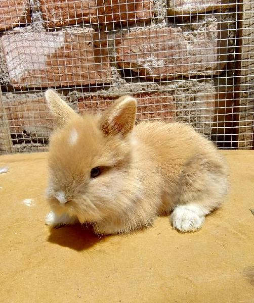 Conejos Cabeza de León Arequipa