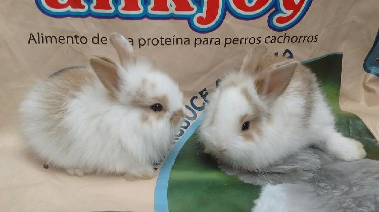 Conejos Cabeza de León Lanudos