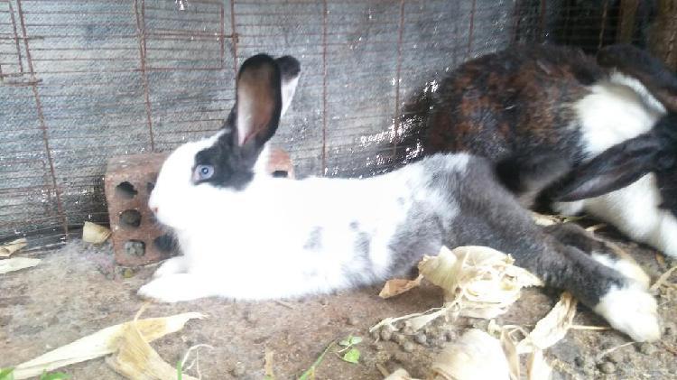 Conejos Gigantes Flandes