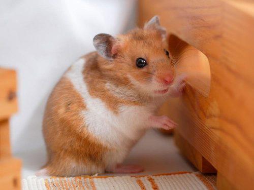 Hamster sirio - la mascota ideal