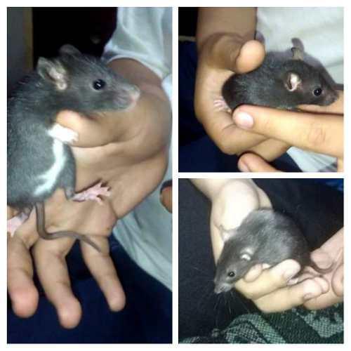 Roedores mascota; ratas, jerbos y ratones.