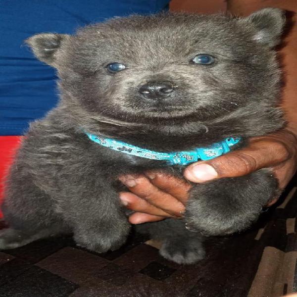 Venta de Cachorro Color Blue Chow Chow
