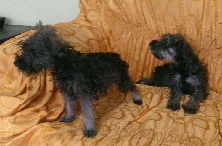 Schnauzer cachorro 2 machos