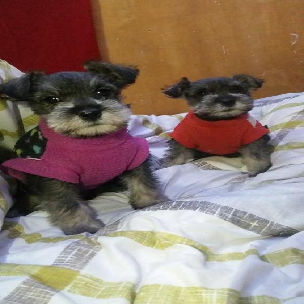 Cachorros schnauzer color: sal pimienta