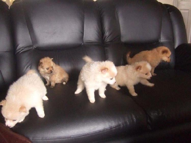 pomerania hermosos cachorritos