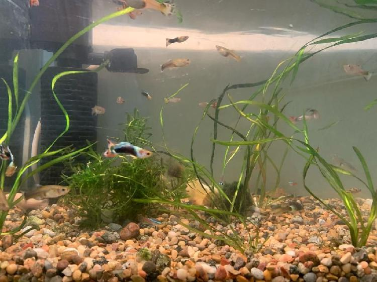 Pecera, peces, filtro, algas, etc