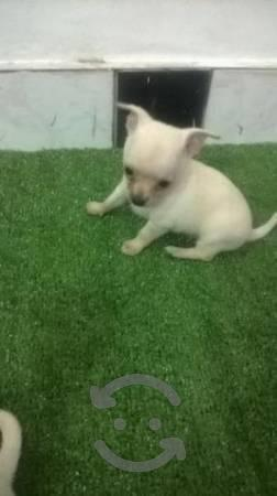 Remato hermoso cachorro chihuahua de porte toy de 4 meses