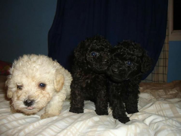 Cachorros Poodle Negros Y Blancos Toy