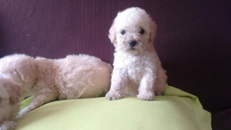 Poodles Toys Finos Cachorros