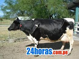 A precio de remate vendo lote de 17 vacas lecheras holstein