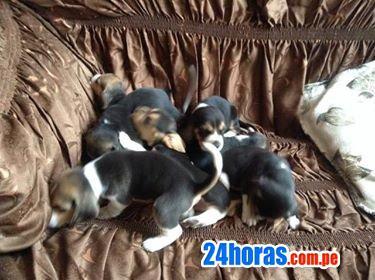 Cachorro beagle de raza pura